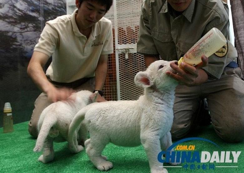 白绵羊图片大全可爱