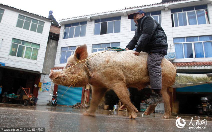 重庆老汉骑500斤大公猪逛街 过路人纷纷围观(