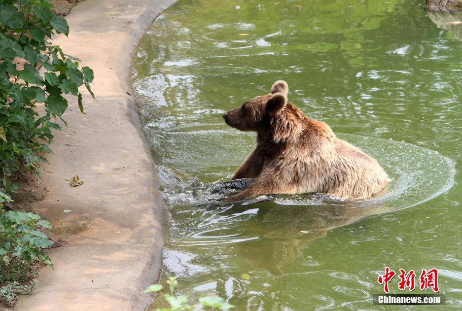 7月17日,河北石家庄动物园,一只棕熊正舒服的泡澡。该动物园为动物准备了冰块、夏季蔬菜水果,还采用开放空调、注满水池、给动物冲凉等方式帮助动物解暑对抗高温。近日,河北持续出现高温炎热天气,部分地区达38。中新社发 翟羽佳 摄