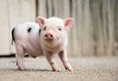 猪长得快是被催肥的吗