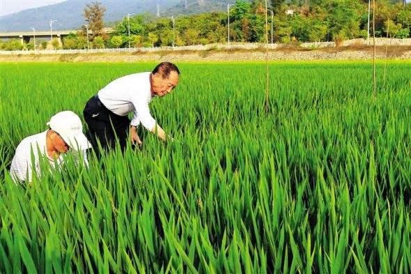 国内首次大范围试种海水稻 袁隆平:达1亿亩可养8000万人