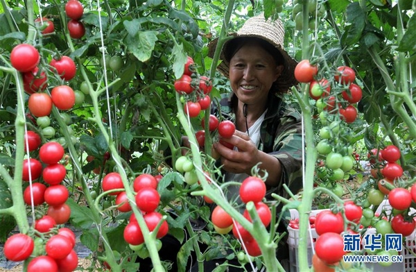 7月11日,在贵州省毕节市黔西县中建乡民主村圣女果种植基地,村民在采摘圣女果。 新华社发(史开心 摄)