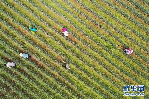 貴州黔西:大蔥產業助農增收