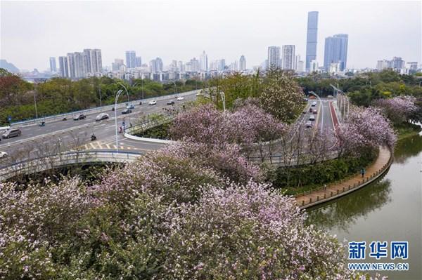 廣西柳州:洋紫荊盛開城市成花海