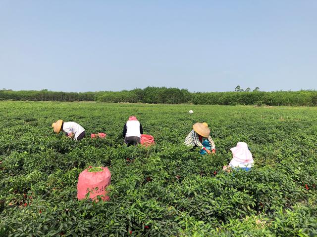 綠色肥料增值萬畝辣椒助力農民增收與鄉村振興