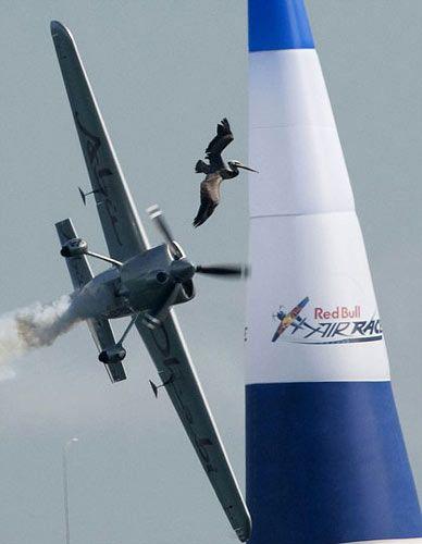 """鹈鹕欲与高速飞行的飞机争夺""""制空权"""",最后竟被飞机的螺旋桨生生击碎!"""