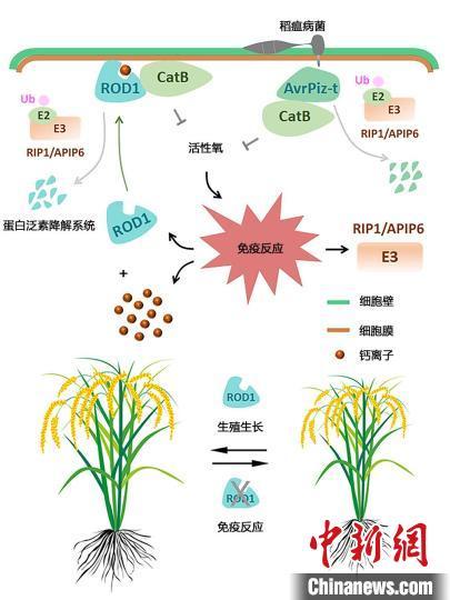 """助力""""绿色育种""""科研人员揭示植物""""聪明的防卫艺术"""""""